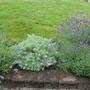 silver mound and lavender (lavandula)