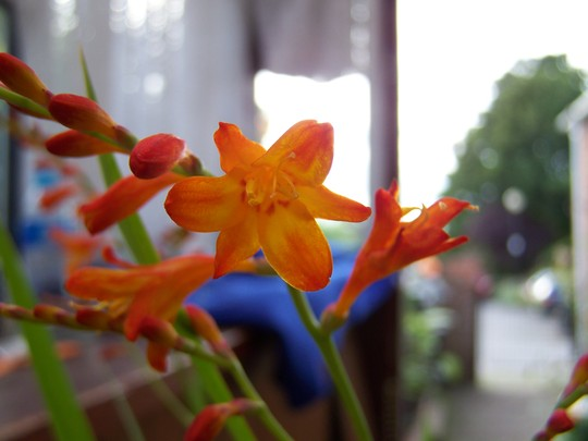 Crocosmia Mini Star