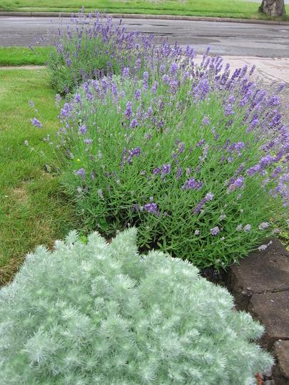 silver mound and lavender (Artemisia schmidtiana (Mugwort))