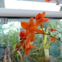 Crocosmia Pride of Plantion