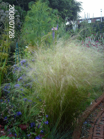 Airy Fairy (Stipa tenuissima (Feather grass))