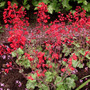Heuchera_ruby_bells_flowers_2