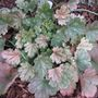 Heuchera_snow_storm