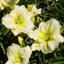 Hemerocallis_cool_it_1a