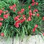 Hesperantha_syn._schizostylis_coccinea_major_crimson_flag_lily