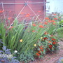 Washed out hot border (Crocosmia)