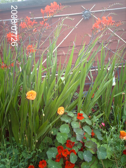 Is it the border or the camera that is lacking? (Crocosmia)