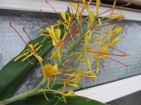 Flowerhead of Ornamental Ginger (Hedychium)