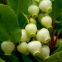 Arbutus_unedo_atlantic_.2