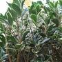 Osmanthus flowers.... (Osmanthus x burkwoodii (Osmanthus))