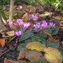 Cyclamen purpurascens (Cyclamen purpurascens)