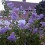 Ceanothus_gloire_de_versailles_autumn_flowering_2_2015