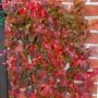 Parthenocissus tricuspidata veitchii.. (Parthenocissus tricuspidata (Boston ivy))