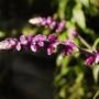 Salvia leucantha (Salvia leucantha (Mexican Bush Sage))