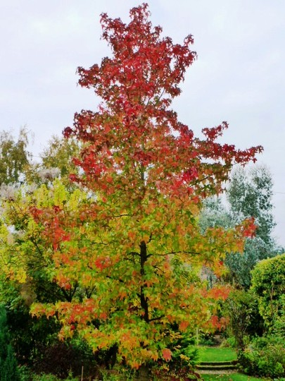Liquidamber ... second one