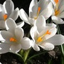 Crocus_chrysanthus_cream_beauty_4_3_15_f