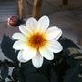 Dahlia_happy_days_cream_12_6_14_b
