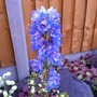 Delphinium_guardian_lavender_21_6_14_b