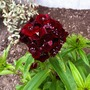 Dicentra Sweet Black Cherry