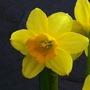 Dwarf Narcissus (Tete-a-tete)