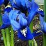 Iris_reticulata_4_3_15_b