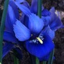 Iris_reticulata_4_3_15_d