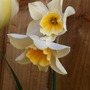 Narcissus_sweet_love_19_4_15