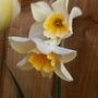 Narcissus Sweet Love (Narcissus jonquilla (Jonquil)Sweet Love)