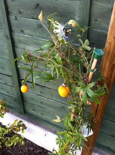 Passion Fruit (Passiflora caerulea (Passion flower))