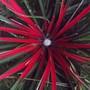 Fascicularia in bloom