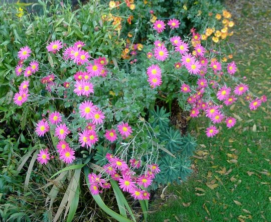 Chrysanthemum (pink) - 2015 (Chrysanthemum)