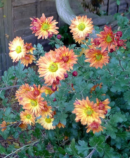 Chrysanthemum (orange) - 2015 (Chrysanthemum)