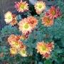 Chrysanthemum_orange_2015