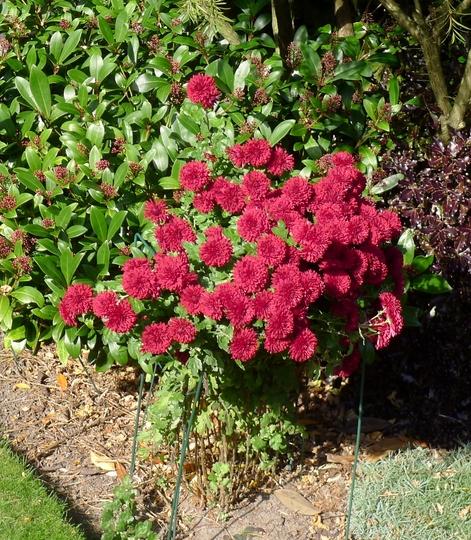 Chrysanthemum (red) - 2015 (Chrysanthemum)