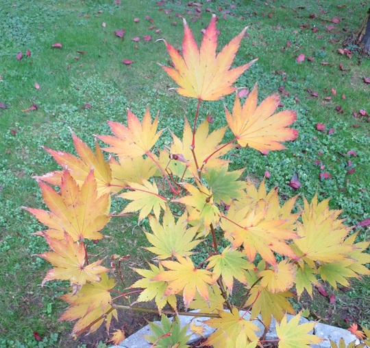 Fall colour of Acer shirasawanum 'Jordan' (Acer shirasawanum 'Jordan')