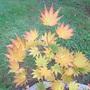 Fall colour of Acer shirasawanum 'Jordan' (Acer shirasawanum 'Jordan')