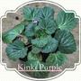 Saxifraga Kinki Purple.... (Saxifraga stolonifera Kinki Purple...)