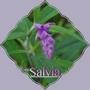 Salvia leucantha? (Salvia leucantha (Mexican Bush Sage))
