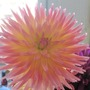 Dahlia Pink with yellow