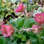 For my record. Geum reflowering,unknown. Nov 2015