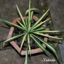 Yucca Filamentosa Bright Edge (possibility) or Colour Guard. (Yucca filamentosa Colour Guard.)