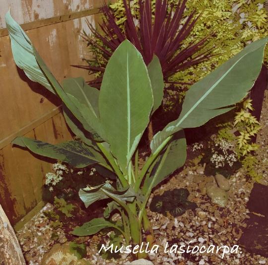 Musellla  lasiocarpa..... (Musella lasiocarpa (Chinese Yellow Banana))
