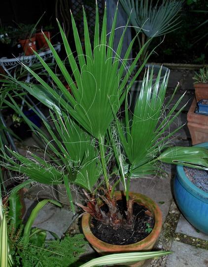 Washingtonia robusta.... (Washingtonia robusta (Mexican Fan Palm))