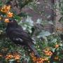 Caught in the act! (Blackbird)