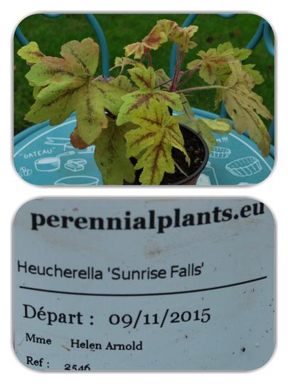 Heucherella Sunrise Falls.. (Heucherella..)