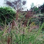 Miscanthus sinensis Morning Light.... (Miscanthus sinensis (Miscanthus) Morning Light,...)