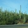 Saguaro cactus forest (saguaro)