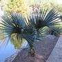 Blue Sabal Palm by pond. (Sabal)