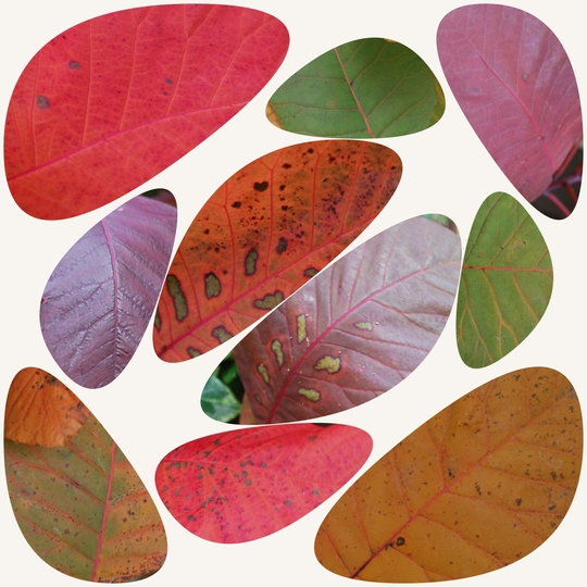 Cotinus Collage November...... (Cotinus coggygria (Smoke bush) Grace.)