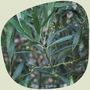 A few olives.......... (Olea europaea)